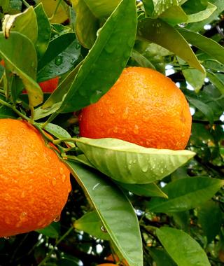 Primax Fruit